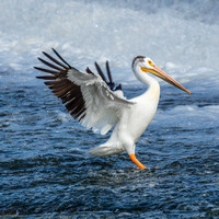Pelicans on the Fox River
