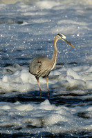 Great Blue Heron Fishing Sequences