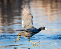 American Coot Running