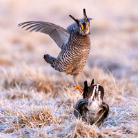 Greater Prairie Chickens from Central Wisconsin