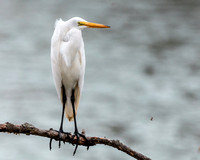 Great Egret and lake fly